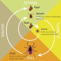 Blacklegged Tick Lifecycle
