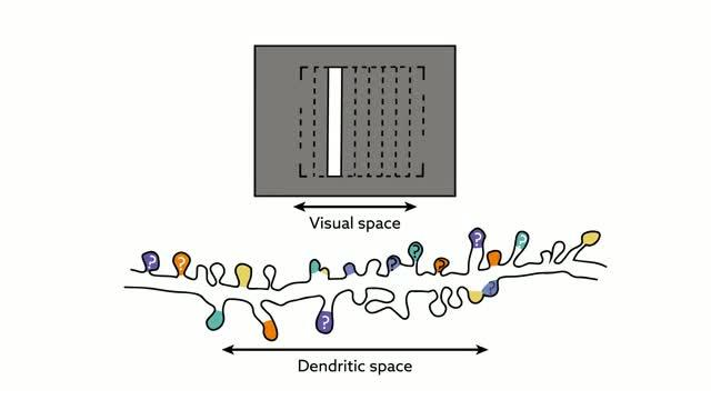 Local Order within Global Disorder Synaptic Architecture of Visual Space