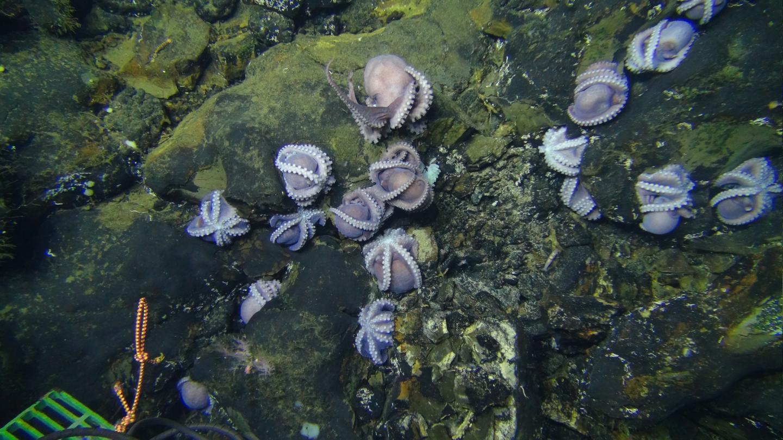Octopus Colony