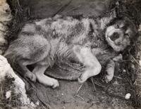 Stareek, a dog on the Terra Nova expedition