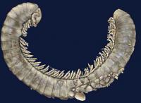 Fossilized Millipede