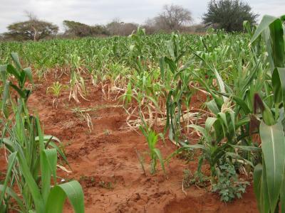 Maize Crop in Kenya