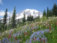 Mount Rainier Wildflowers in the Summer