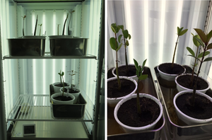 Mangrove trees grown in the laboratory