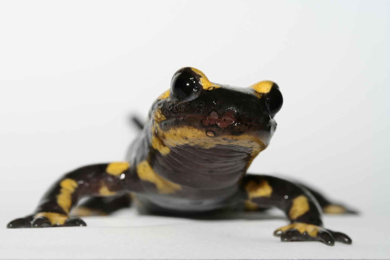 Infected Fire Salamander