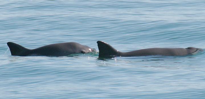 Endangered vaquitas