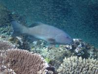 The Common Coral Trout