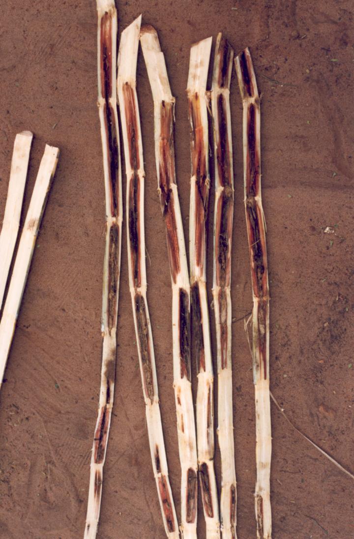 <em>Fusarium verticillioides</em>