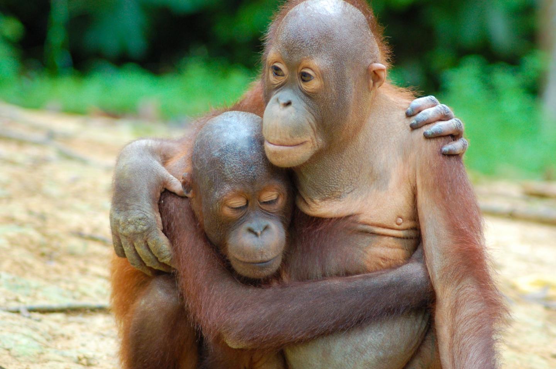 Endangered Bornean Orangutans Survive in Managed Forest, Decline Near Oil Palm Plantations