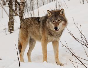 Eurasian grey wolf