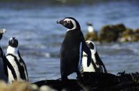 African Penguin Adult