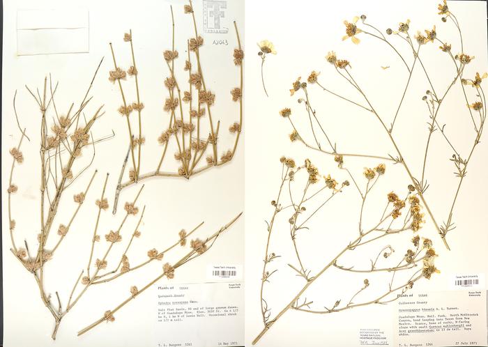 Guadalupe Mountain herbarium specimens