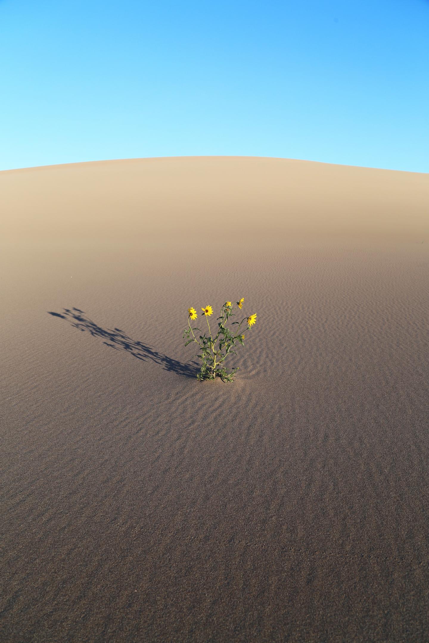 Supergenes Help Sunflowers Adapt to Harsh Environments