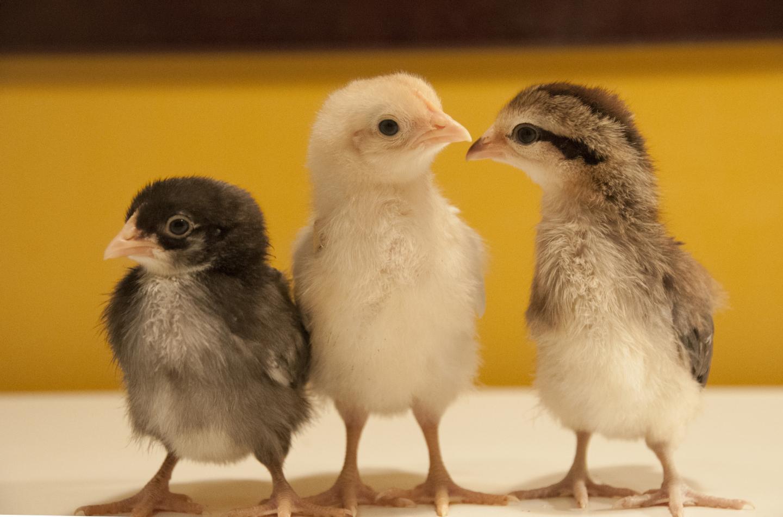 Intercross Chicken