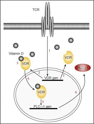 Model of the Findings: Naïve T Cells Do not Express Vitamin D Receptor nor Plc-Gamma1