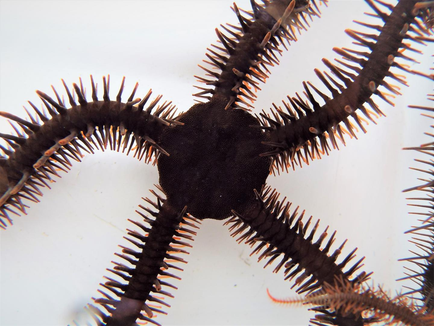The Red Brittle Star, Ophiocoma wendtii