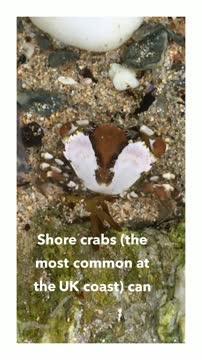 Shore Crabs Study