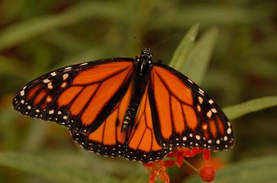 A Monarch Butterly (1 of 2)