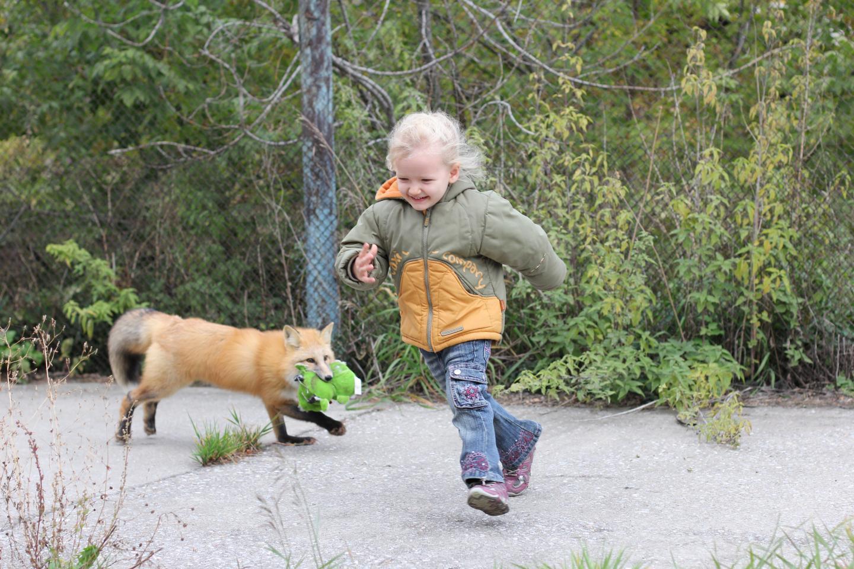 Fox Bred for Friendly Behavior