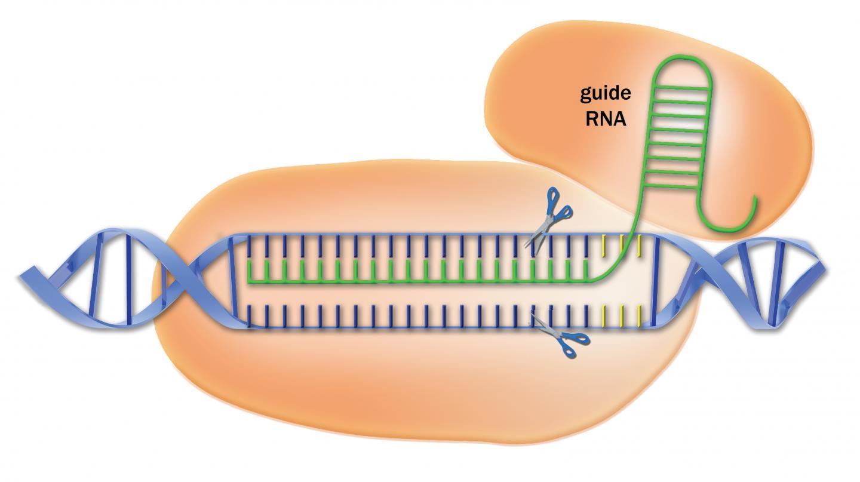 The CRISPR-Cas9 system