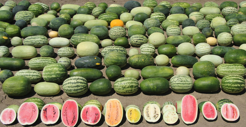 Watermelon Diversity