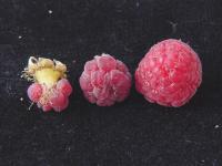Pollinator-2 Raspberry