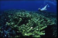 Healthy Elkhorn Corals