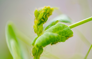 Aphids2