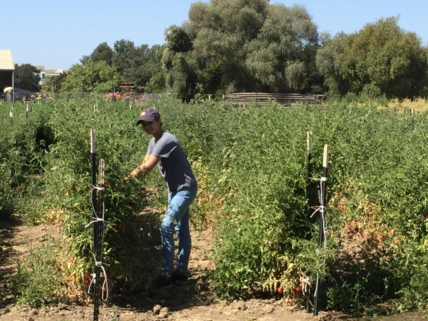 Harvesting Microbes in a Tomato Field