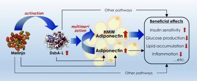 Mechanisms of MSE and their beneficial effects