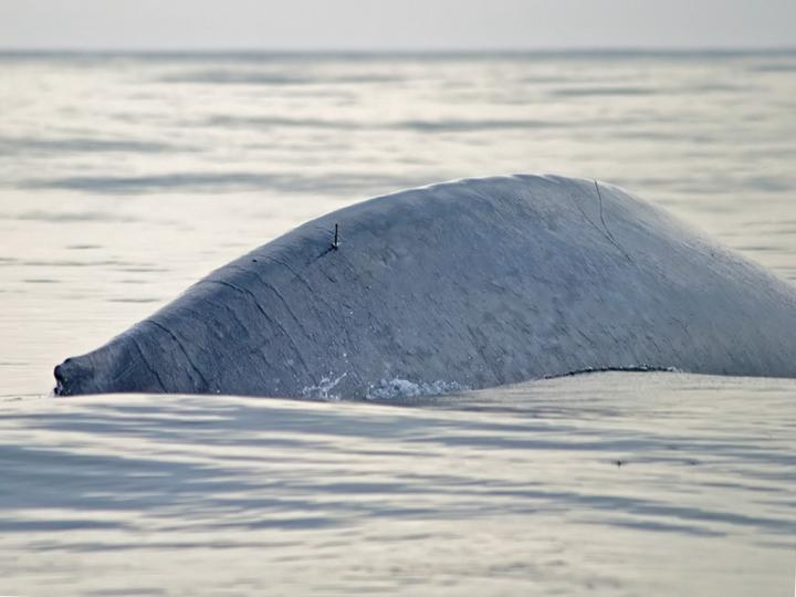 Blue Whale (1 of 2)