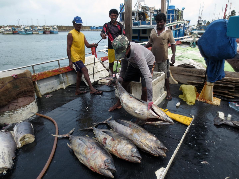 Yellowfin Tuna in Sri Lanka