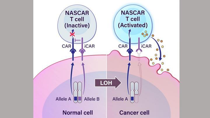 Novel cancer immunotherapy