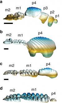 Multituberculate Teeth
