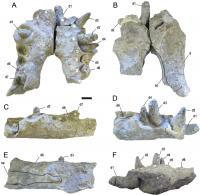 Deinosuchus riograndensis teeth