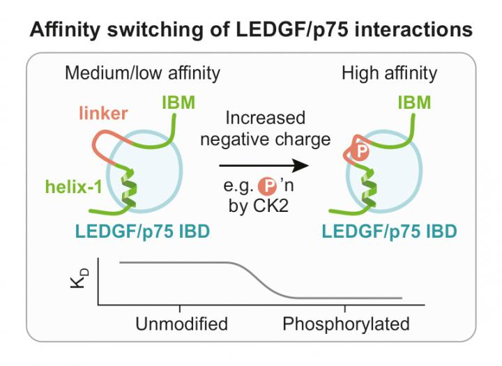 Affinity Switching of LEDGF/p75 Interactions