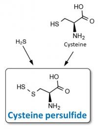 Structure of cysteine persulfide