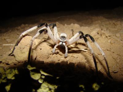 New Spider Species <I>Cerbalus aravensis</I> (1 of 3)