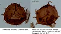 Spores comparison