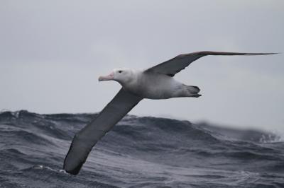 Albatross (2 of 3)