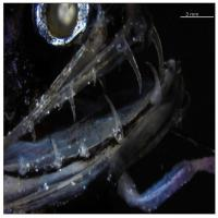 Transparent Dragonfish Teeth