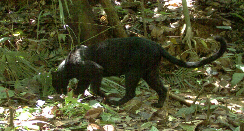 Leopards Spots Black