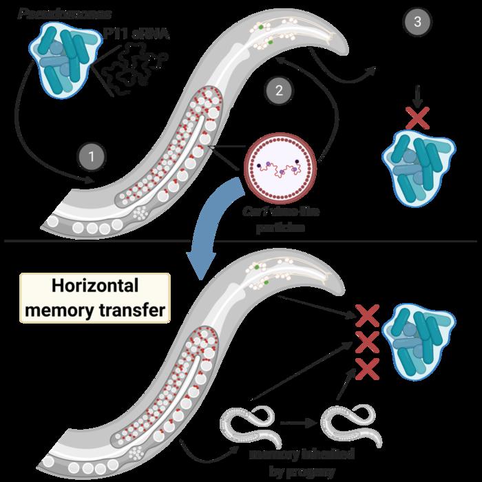 Horizontal memory transfer in C. elegans