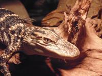 Baby Alligator mississippiensis