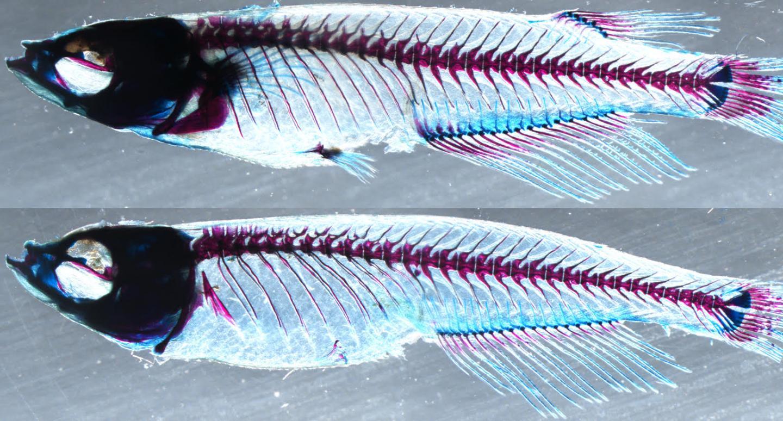 Effects of Genetic Enhancers on Medaka Fish