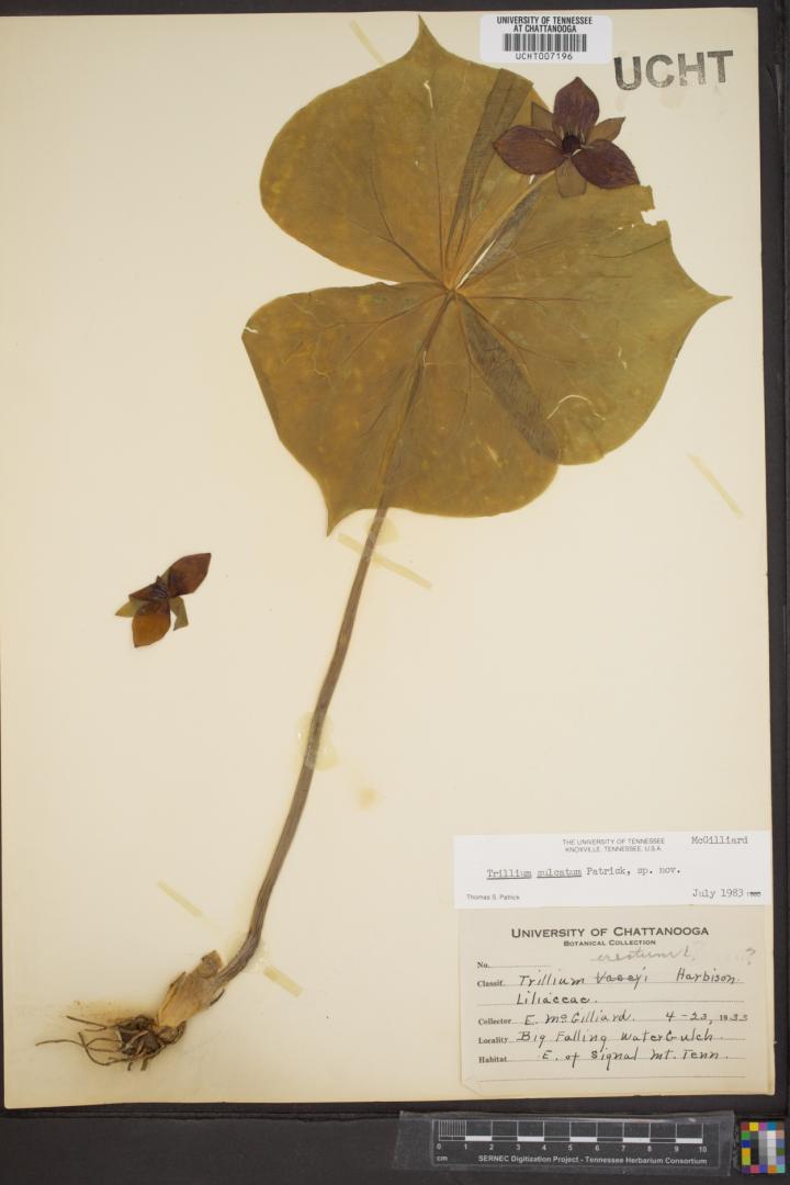 Trillium erectum herbarium specimen
