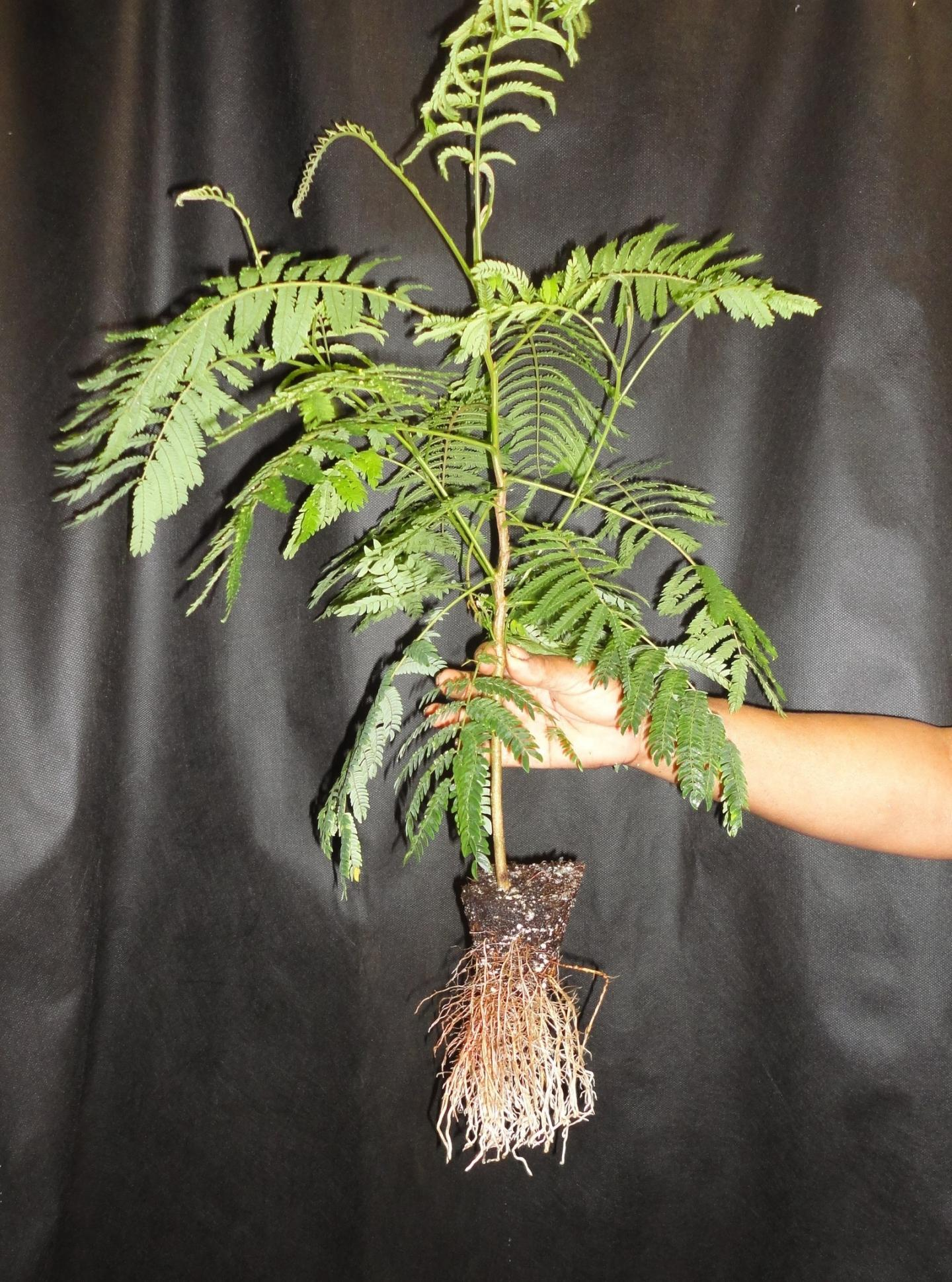 Endangered Tree Found Only on the Islands of Guam and Rota