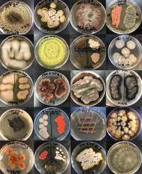 Marine Fungal Colonies Cultured from Woods Hole, Mass., Environments
