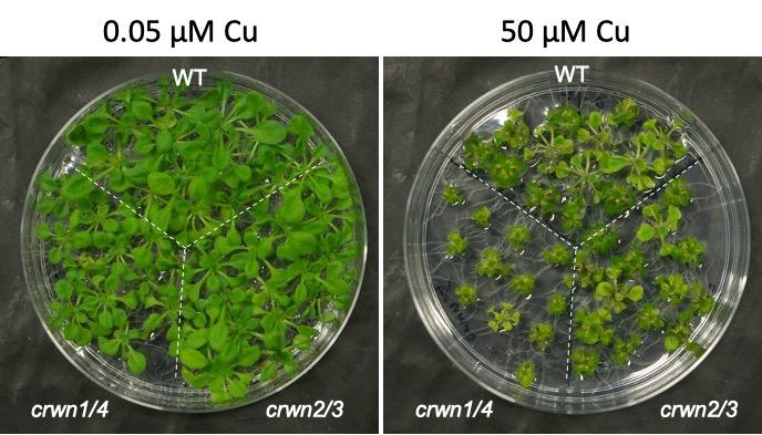 Crowded Nuclei Proteins also Influence Plants' Response to Environmental Stress