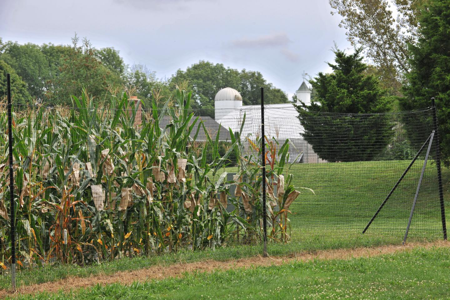 Corn Growing at the Experimental Station at Cold Spring Harbor